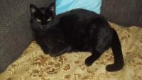 В районе фонтана, пропал черный кот с желтыми глазами, мордочка как перса .Кличка Муська  Тел  860422748