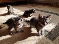 отдадим в добрые руки котят 3 мальчика и 1 девочка (тел 868553822)