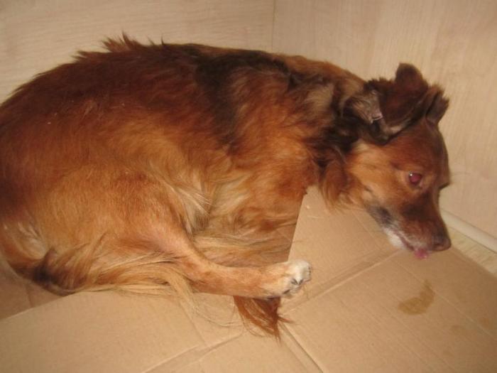 найдена собака-девочка в Зарасай (оказана ветеринарная помощь)-вернули хозяину