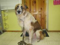 собака-мальчик (Гранд, родился-2010-09-10 характер хороший, уравновешенный ,не привередлив в еде)