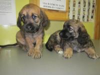 собаки-девочки (дата рождения 2013-07-18).