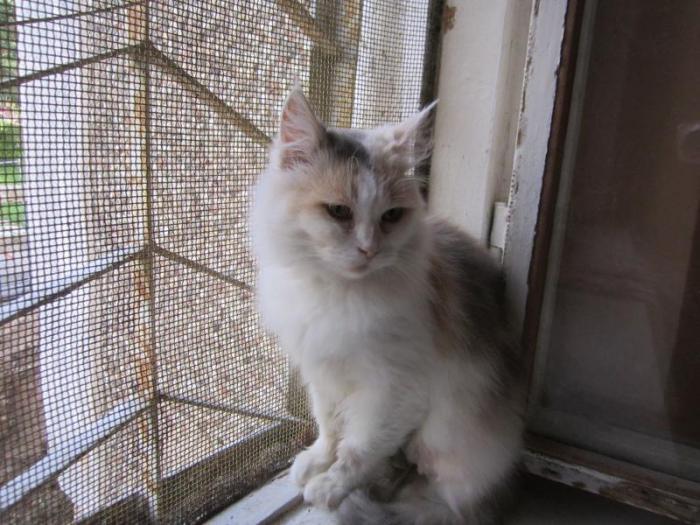 В с.т ВИШНЯ найдена трехцветная кошка (пристроена к новым хозяевам)