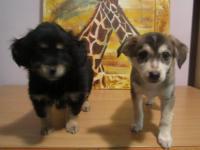 Отдам 2-х щенков (мальчик-черный, девочка -коричневая ) возраст -2 месяца (отдали)