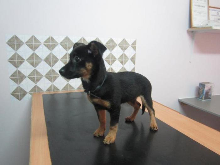 1 декабря около 8 часов вечера во дворе дома ал. Седулинос, 6 был найден щенок (девочка) маленькой породы. (хозяин найден)
