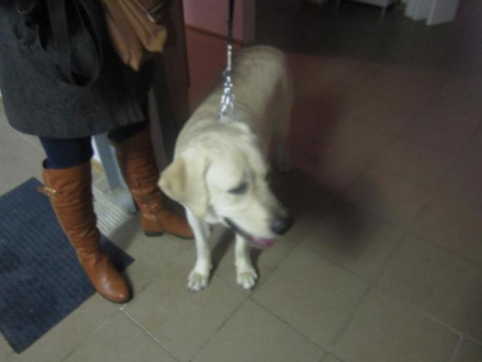 найдена собака-мальчик (Лабрадор) с ошейником возле Тайкос 32  (возвращен хозяину )