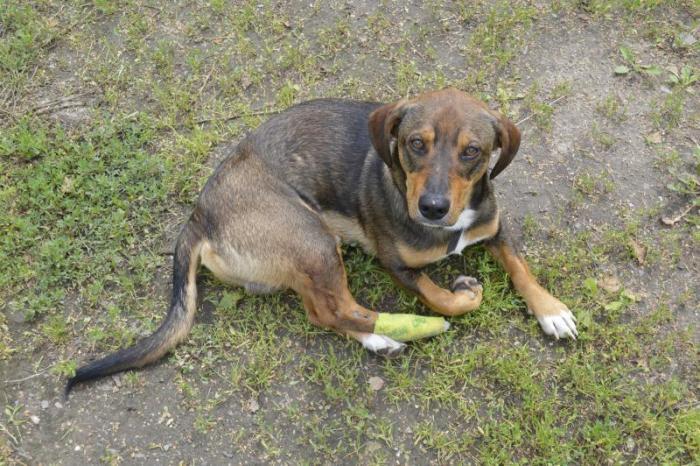 Найдена собака в р-не Турмантаса. 07.19 получила травму. Просьба откликнуться хозяину ( тел.860979199)