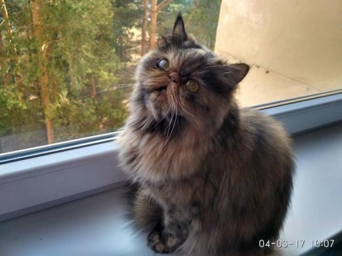 отдадим кошку (привитая, стерильная) 4 года